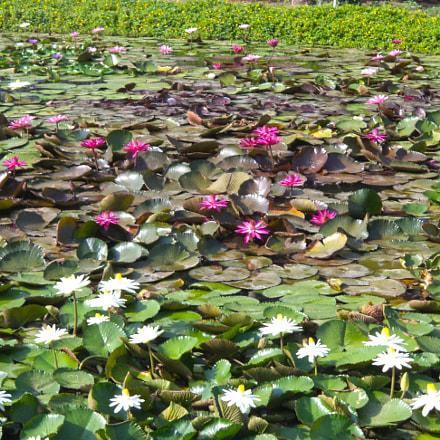 lotus, Sony DSC-S5000