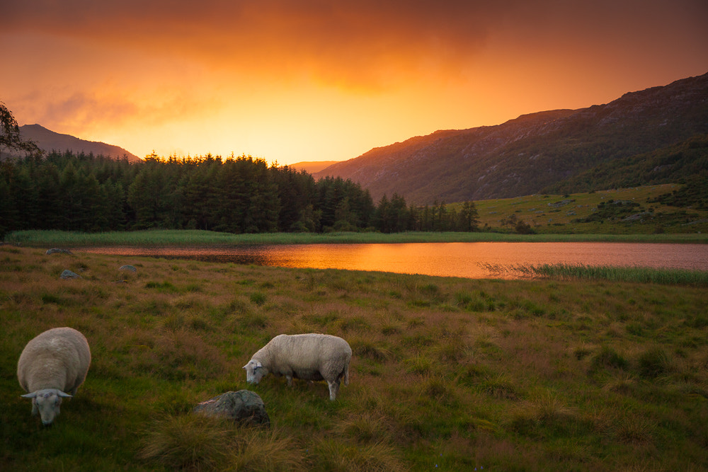 Photograph Norway sheep by Martin Ackerl on 500px