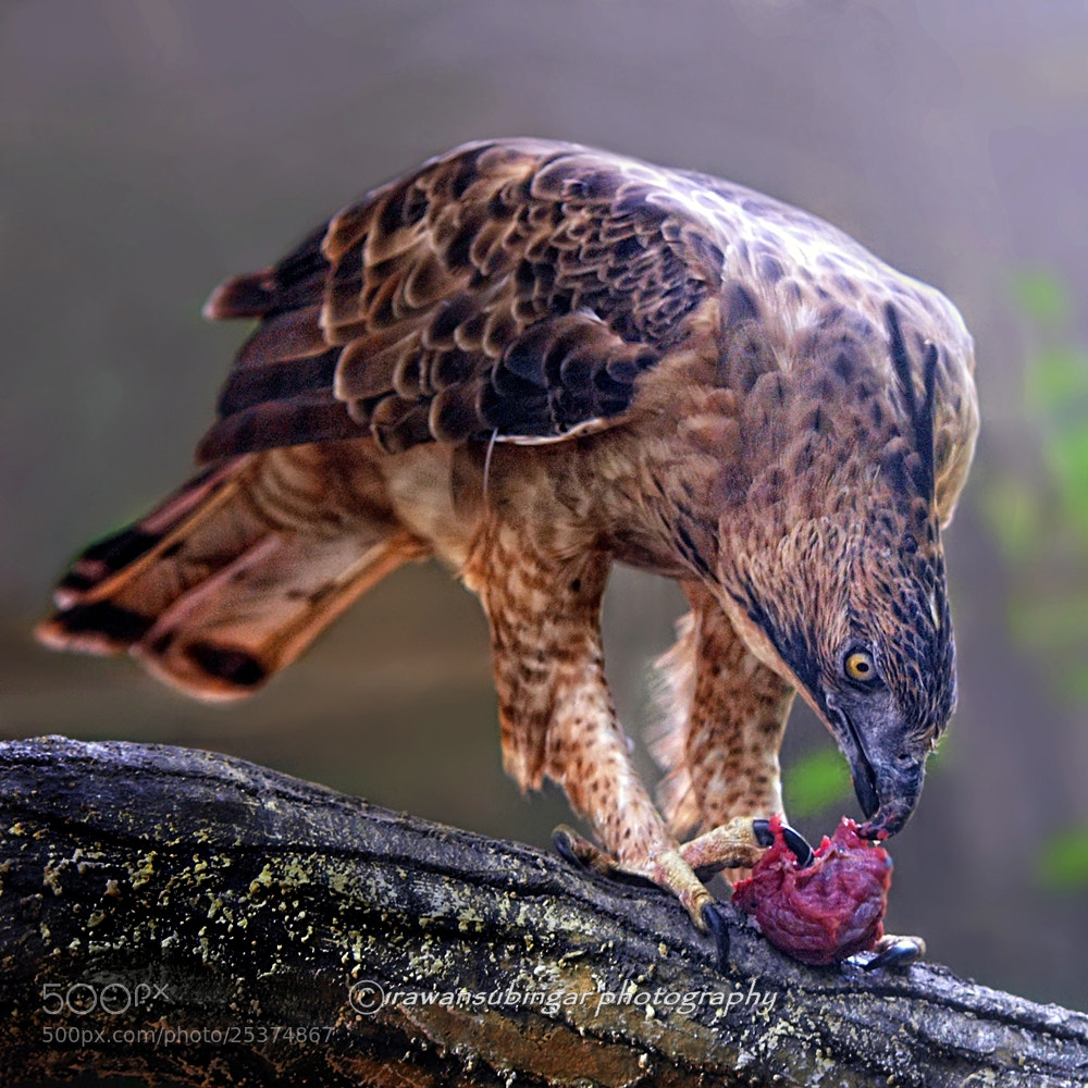 Photograph Javan Hawk Eagle by Irawan Subingar on 500px