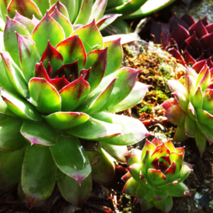 succulent garden, Canon POWERSHOT SX270 HS