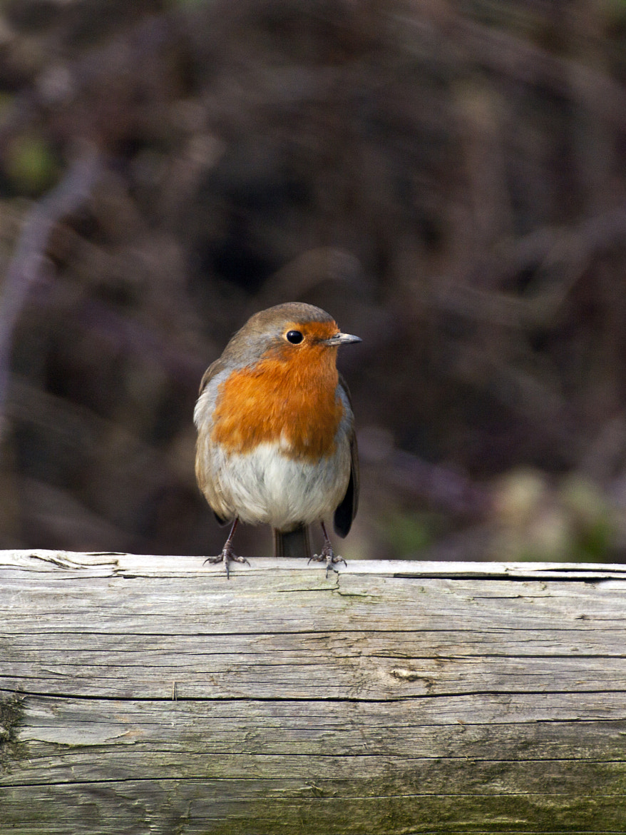 Photograph Robin (Erithacus rubecula) by Ray Jones on 500px