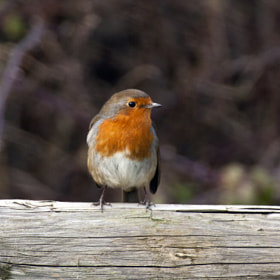 Robin (Erithacus rubecula) by Ray Jones (arianta)) on 500px.com
