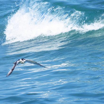 little gull (larus minutus), Canon POWERSHOT SX270 HS