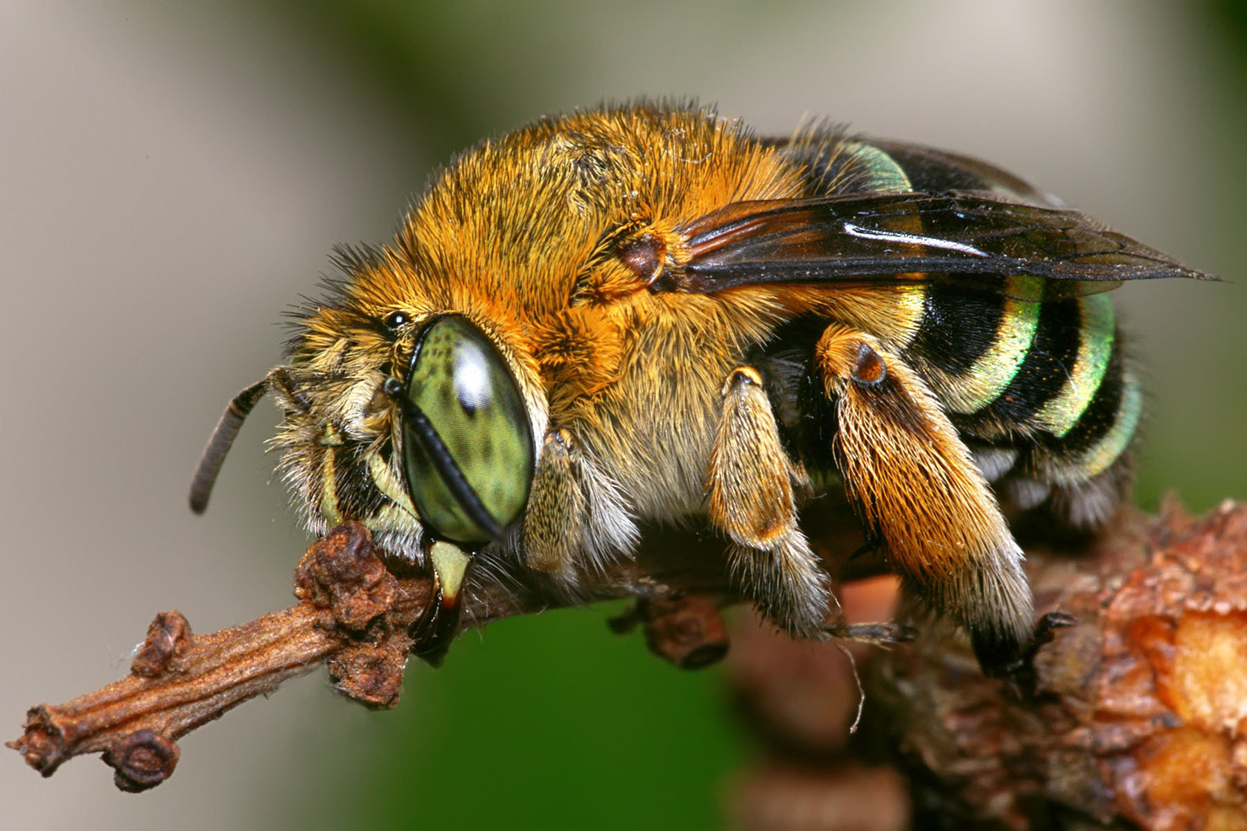 Photograph Blue Banded Bee by ainx yodi on 500px