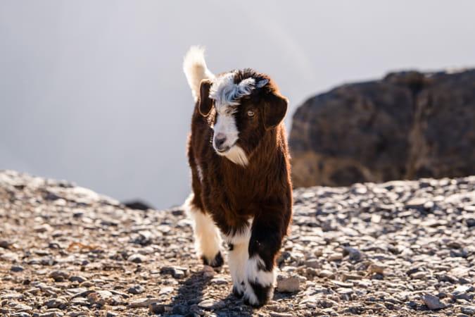 Baby kid goat Oman