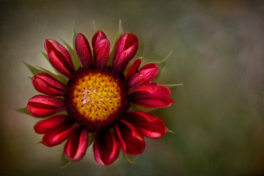 Photograph Blanket flower by Mandy Disher on 500px