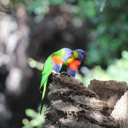 birds in loroparque, teneriffa, Canon EOS 650D, Canon EF 70-200mm f/4L IS