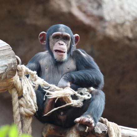 monkeys in loroparque, teneriffa, Canon EOS 650D, Canon EF 70-200mm f/4L IS