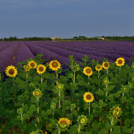 sunflower&lavander, Nikon D800E, PC-E Micro Nikkor 45mm f/2.8D ED