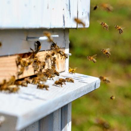 bees, Nikon D7000, AF Zoom-Nikkor 24-85mm f/2.8-4D IF