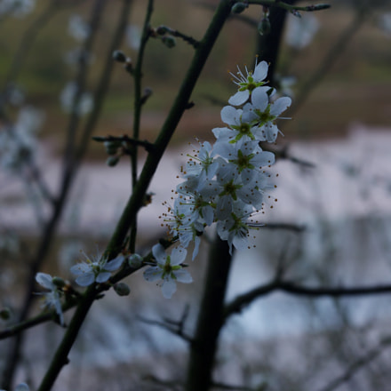 Apple blossoms, Pentax K-R, smc PENTAX-DA L 18-55mm F3.5-5.6