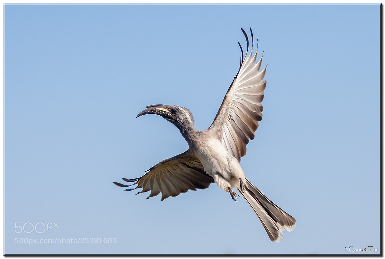 Photograph Grey Hornbill  by Conrad Tan on 500px