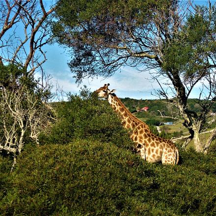 Kragga Giraffe, Canon POWERSHOT A540