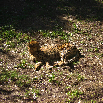 Cheetah at Kragga, Canon POWERSHOT A540