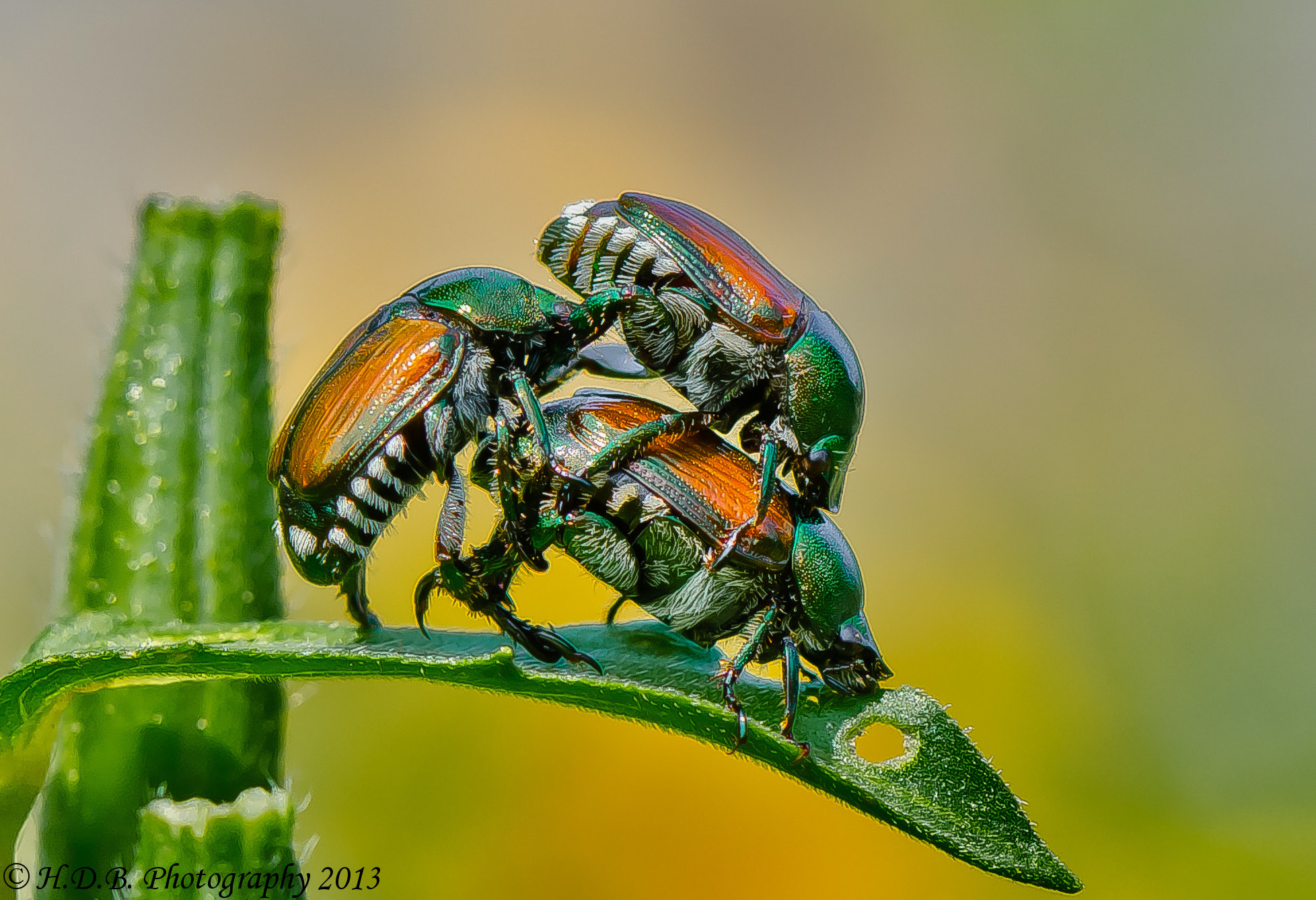 Photograph Japanese Beetle 3 Ways by Harold Begun on 500px