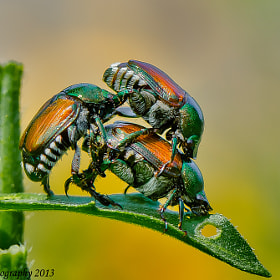 Japanese Beetle 3 Ways by Harold Begun (HaroldBegun)) on 500px.com