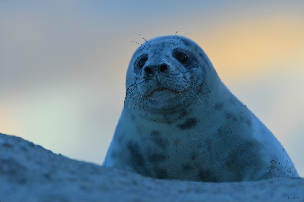 Photograph Early Morning Seal by Elmar Weiss on 500px