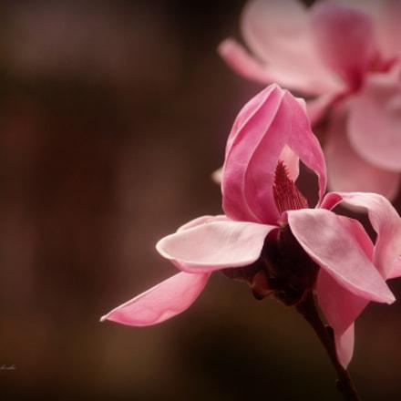 Magnolia rosa, Sony SLT-A58, Sony DT 55-200mm F4-5.6 SAM (SAL55200-2)