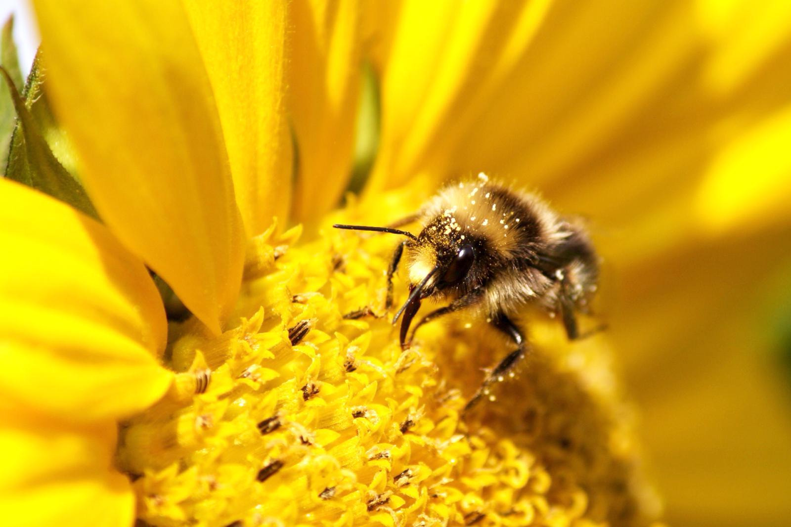 Photograph I Bee Sunflower by Jay Rowe on 500px