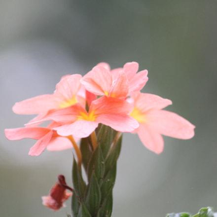 firecracker flower, Canon EOS 500D, Canon EF-S 55-250mm f/4-5.6 IS