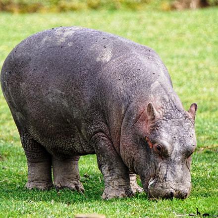 Young hippo, Sony ILCA-68, Tamron SP 150-600mm F5-6.3 Di USD