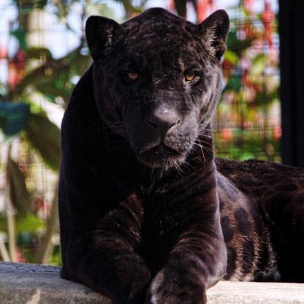 Aramis the big jaguar, Sony ILCA-68, Tamron SP 150-600mm F5-6.3 Di USD