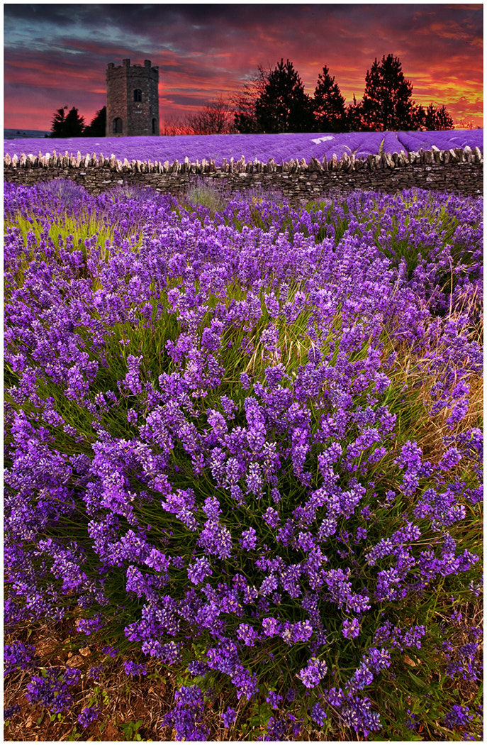 Photograph Lavender Light by Alan Coles on 500px