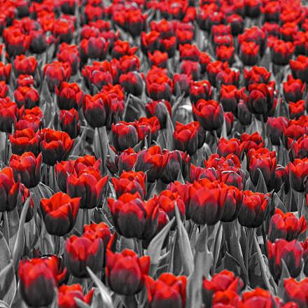 Sea of Red, Nikon D7200, AF Nikkor 85mm f/1.8D