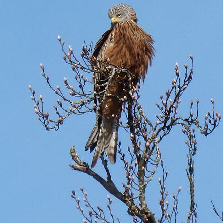 Bird of prey, Panasonic DMC-FZ62