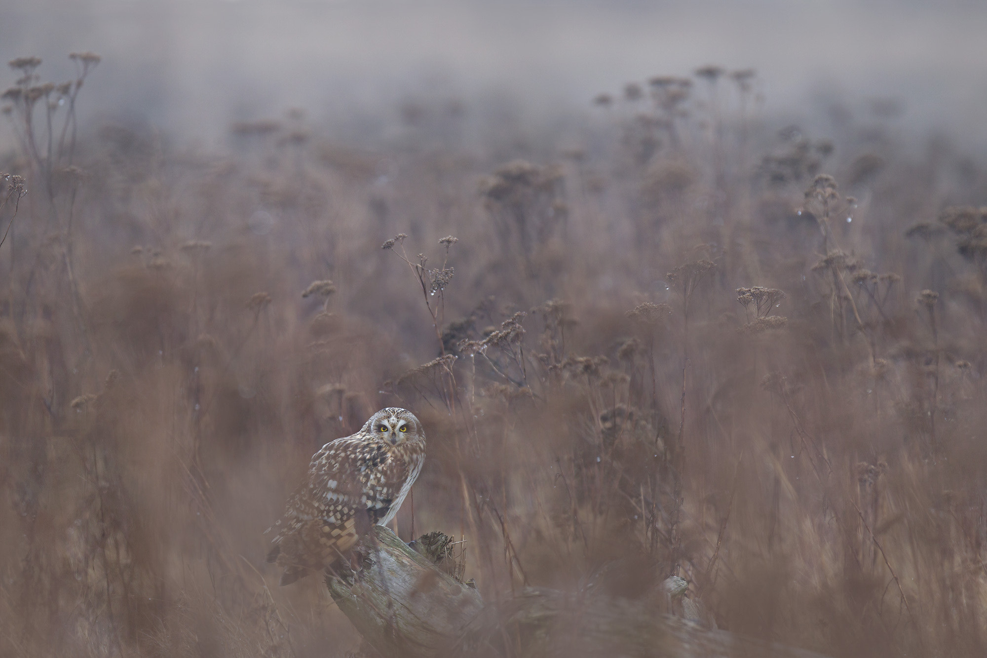 Photograph Short-eared Owl by Matthew Studebaker on 500px