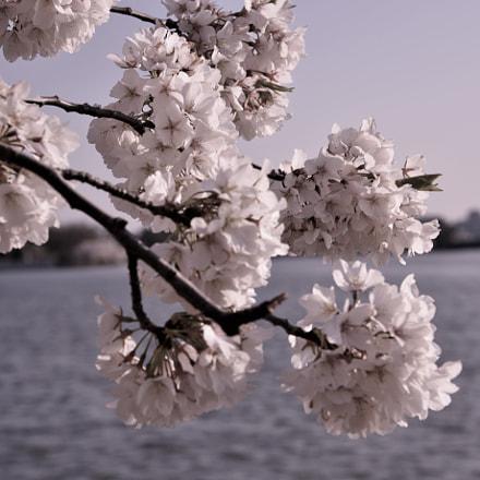 Cherry flowers branch above, Nikon D810, AF-S Nikkor 24-120mm f/4G ED VR