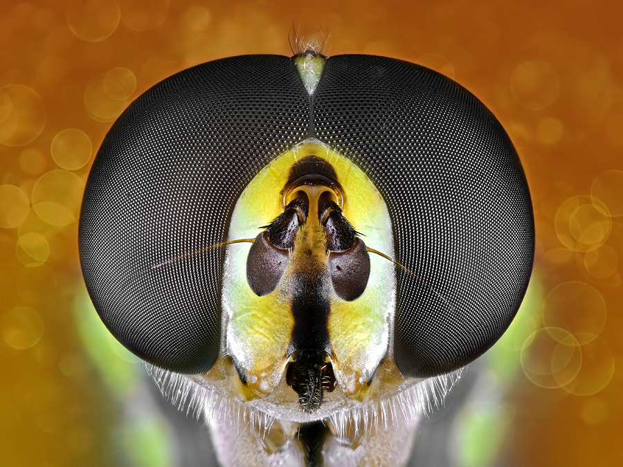 Photograph Hoverfly by Donald Jusa on 500px