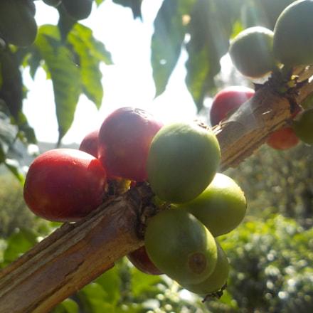 Coffea arabica, Nikon COOLPIX S33