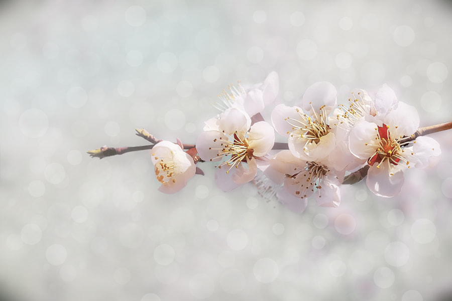 Apricot blossoms by hyunpyo cho on 500px.com