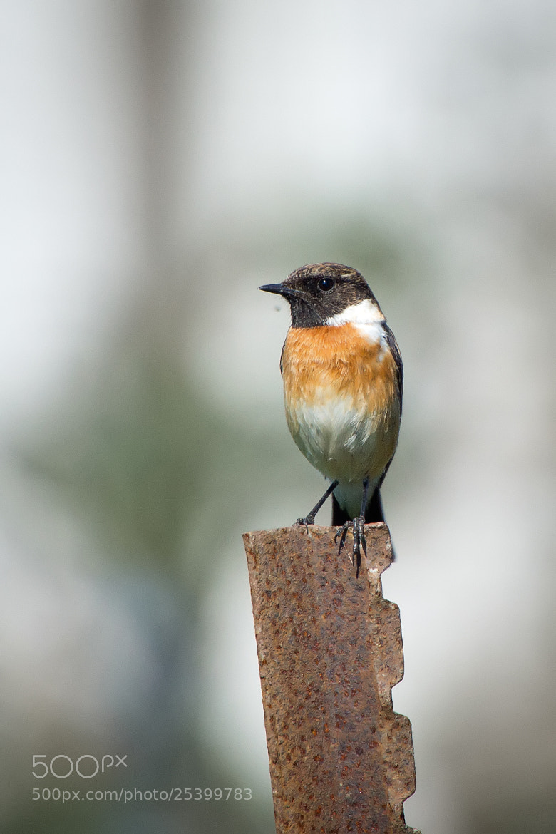 Photograph European Stonechat  by Evgeny Bereza on 500px