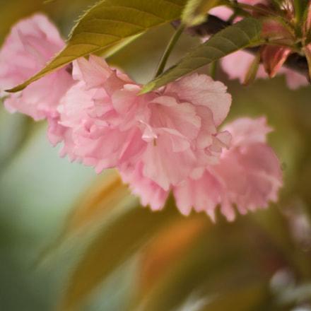 Dreamy spring flower, Pentax K100D SUPER, A Series Lens