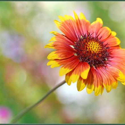 Pretty Gaillardia Bloom, Nikon D750, Sigma Macro 105mm F2.8 EX DG OS HSM