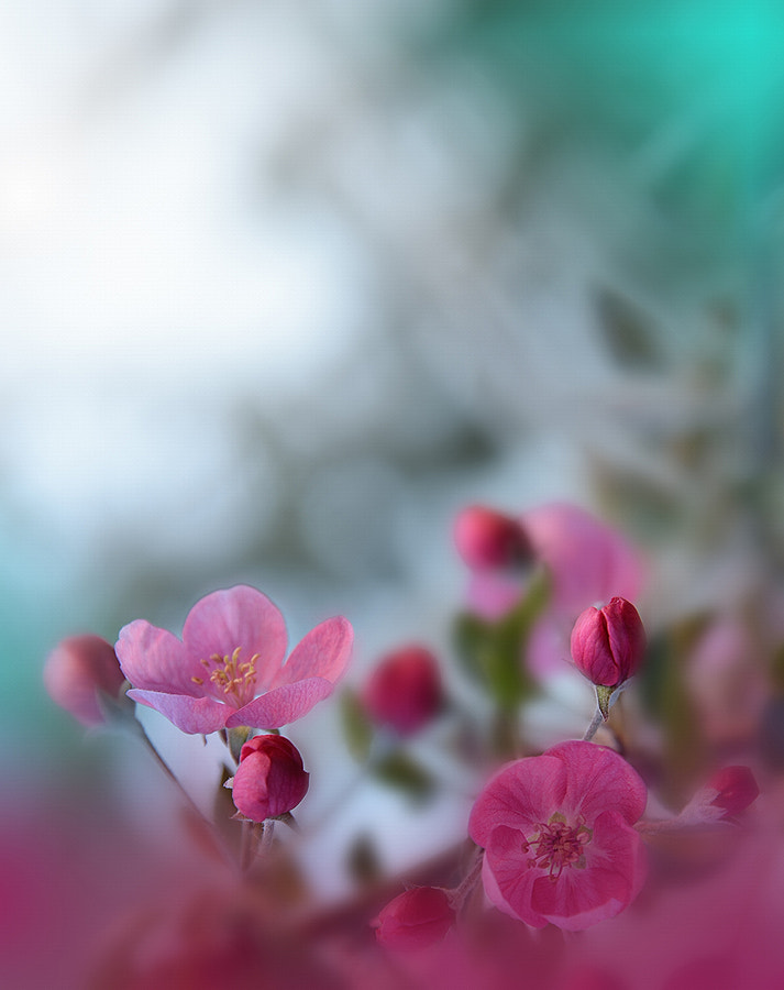 Blossoms Spring Sakura.. by Juliana Nan on 500px.com