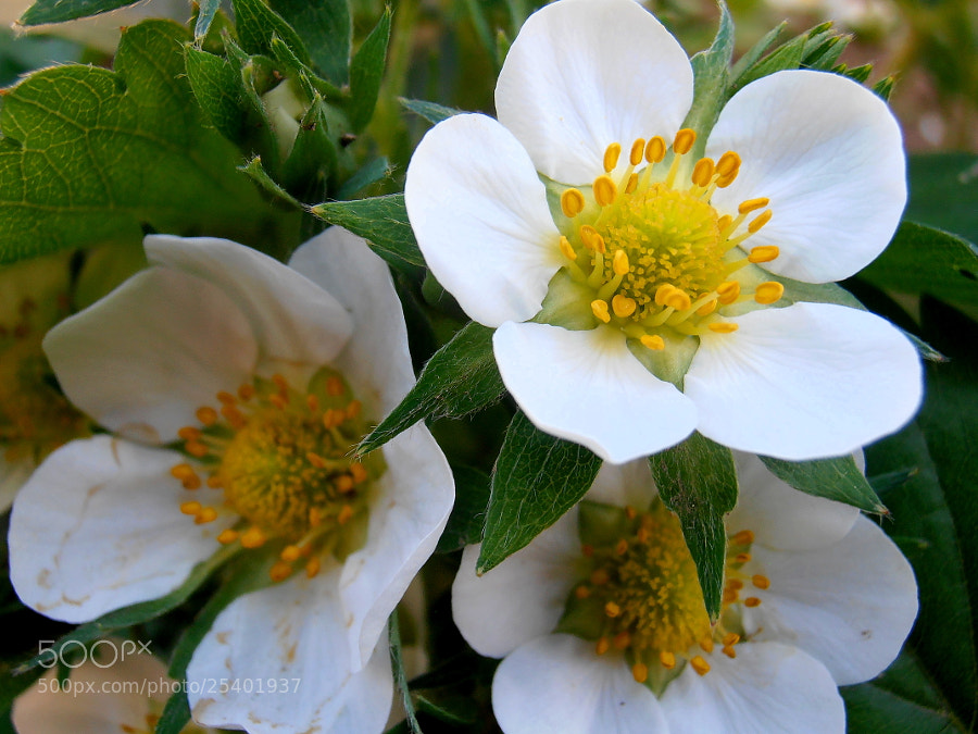 Photograph Small white... (strawberry) by Snezana Petrovic on 500px