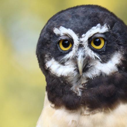 Close up Owl, Sony DSC-H7