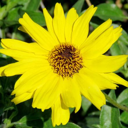 Yellow Daisy Flower, Canon POWERSHOT SX60 HS, 3.8 - 247.0 mm