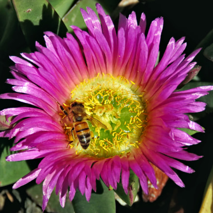 Bee Enjoying A Purple, Canon POWERSHOT SX60 HS, 3.8 - 247.0 mm