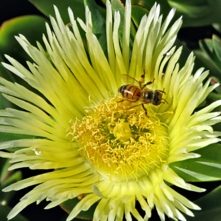 Bee Enjoying A Yellow, Canon POWERSHOT SX60 HS, 3.8 - 247.0 mm