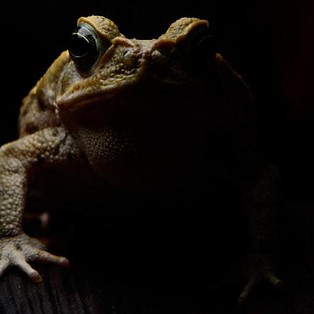 Rhinella horribilis (Cane Toad), Nikon D7100, AF-S DX Micro Nikkor 85mm f/3.5G ED VR