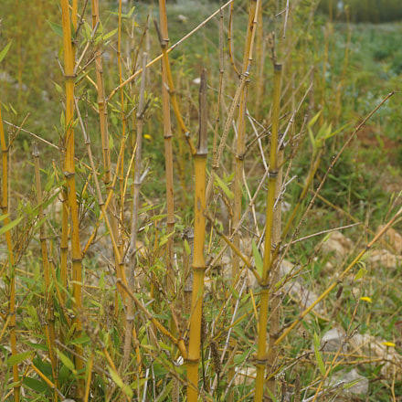 Bamboo, Sony ILCE-6000, Sony E 18-50mm F4-5.6