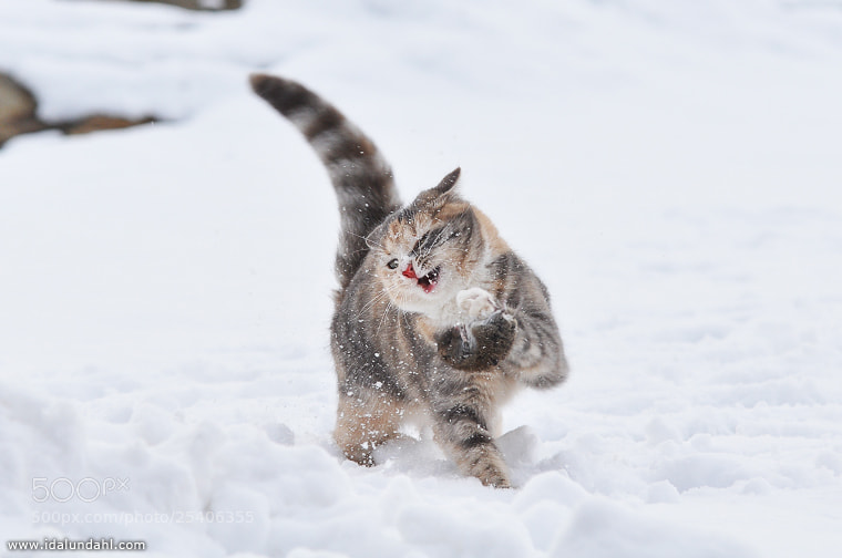 Photograph Cat Attack by Ida Lundahl on 500px