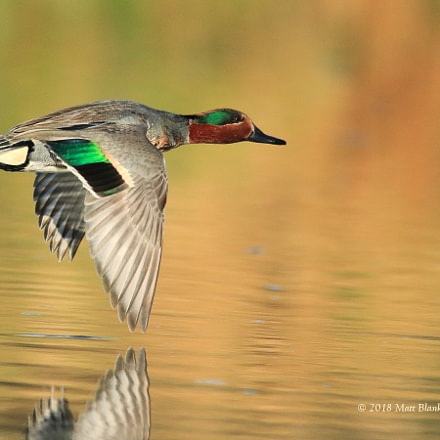 Green-winged teal flying away., Canon EOS 70D, Sigma 150-500mm f/5-6.3 APO DG OS HSM