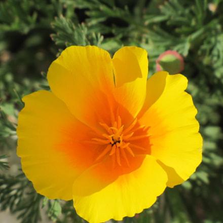 Beautiful flower, Canon POWERSHOT SX20 IS