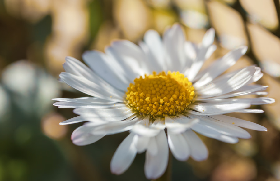 Daisy by Antony Cooper on 500px.com