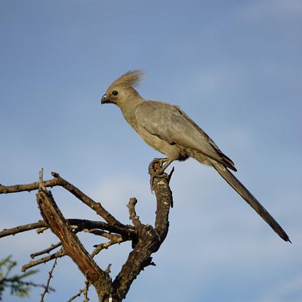 Go-Away Bird, Sony ILCE-6000, Sony E 55-210mm F4.5-6.3 OSS